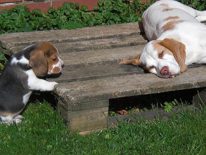 beagle news dr barbara rudorf stever beaglezucht z chter welpen hagenburg. Black Bedroom Furniture Sets. Home Design Ideas